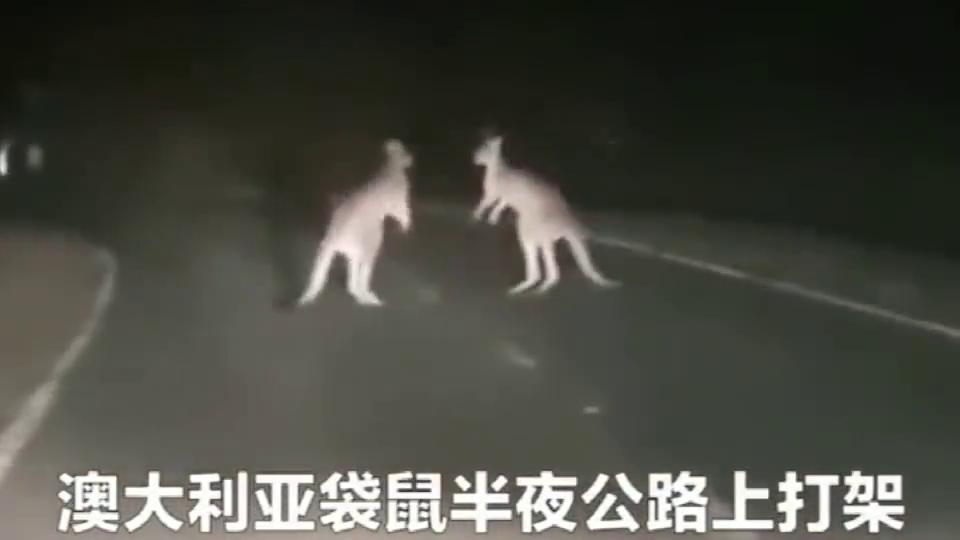 袋鼠半夜不睡觉跑公路上打架去了?