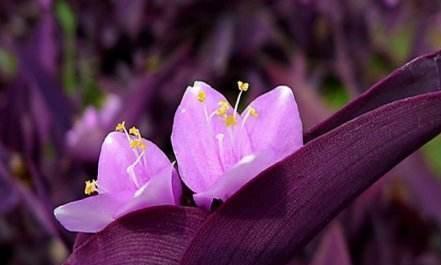 另类的紫色花还能解蛇毒,百花丛中来配色,从此养花不寂寞