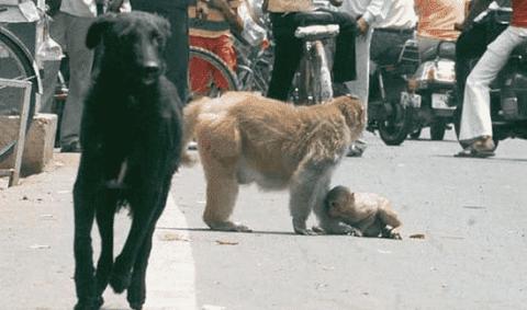 受伤的猴子遭野狗袭击,猴妈妈为保护孩子与狗争斗,让人感动