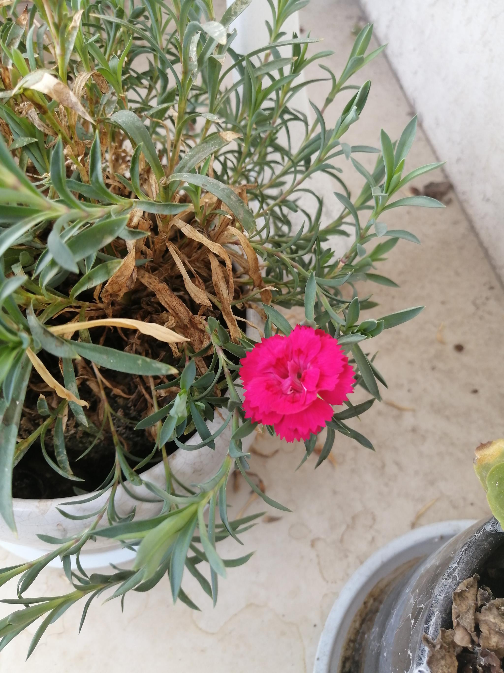 阳台上的石竹开花了