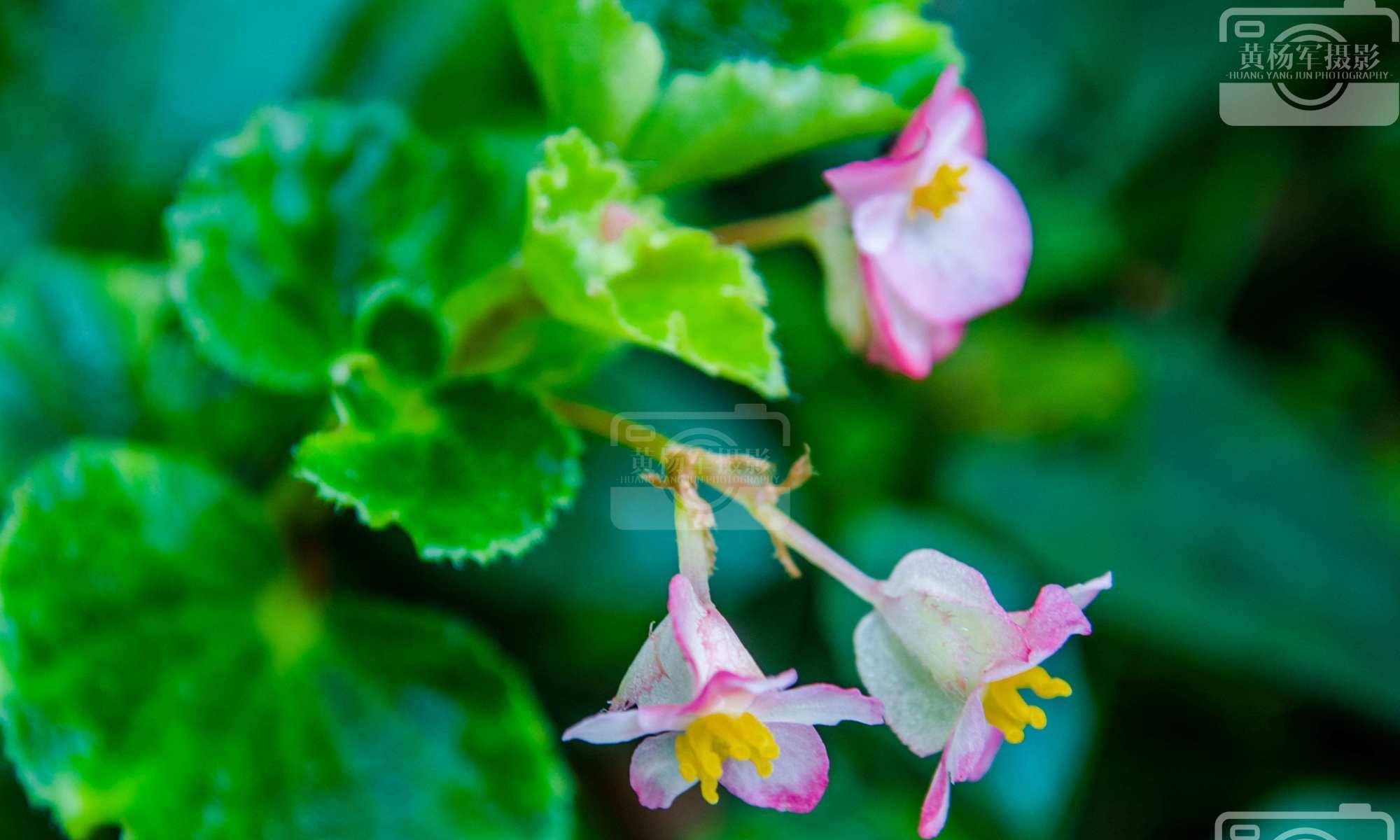 绿叶中清新美丽的四季秋海棠花,娇美熟悉的花朵特迷人