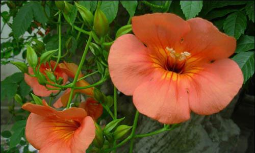 此花宛如一个个的小漏斗,色彩鲜艳夺目,寓意着慈母之爱
