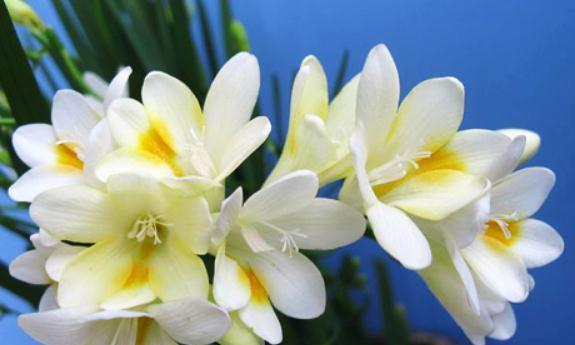 此花玲珑清秀优雅动人,似百合若兰蕙,幽香典雅,寓意着幸福的爱