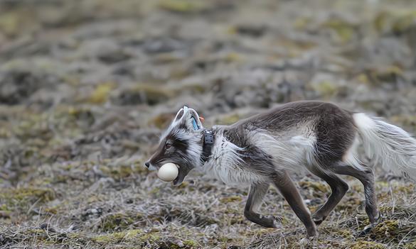 北极动物运动模式发生转变,气候变化为诱因,下一个会是人类吗?