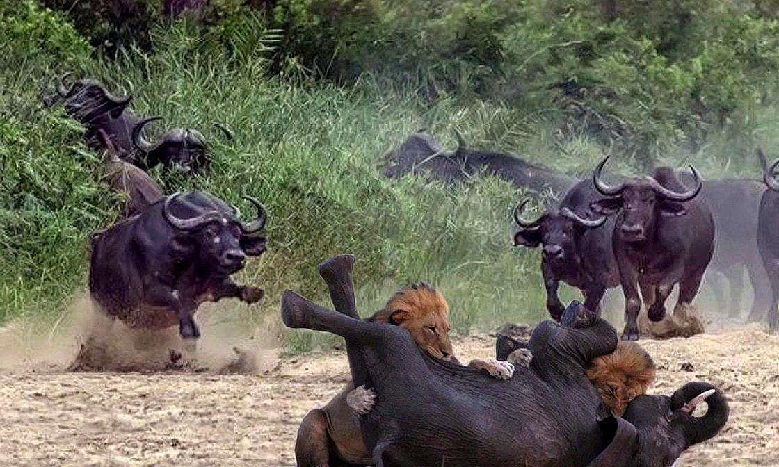500头野牛找狮子报仇,直接闯进狮子窝,将群狮打的落花流水!
