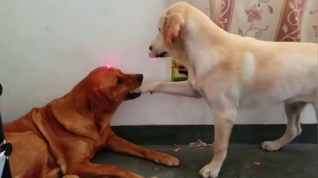 两只傻狗之间的较量,网友独爱臭脚丫子
