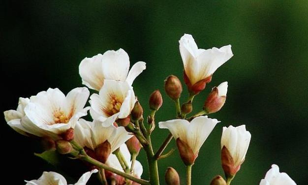 此花盛开时,洁白的花朵远望宛如冬之薄雪,寓意为情窦初开