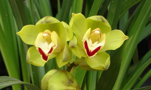兰花的小排铃、大排铃和转茎分别是什么?大的花蕾就是大排铃吗?
