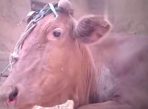 老牛突然病了,竟是吃了带钉子的草料,牛大胆立马怒了!