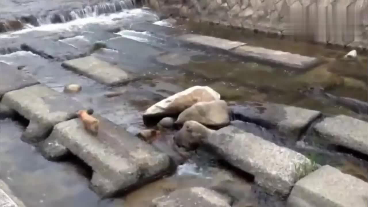 狗狗不小心把球丢河里了,知道在最安全的地方下水捡球太聪明了