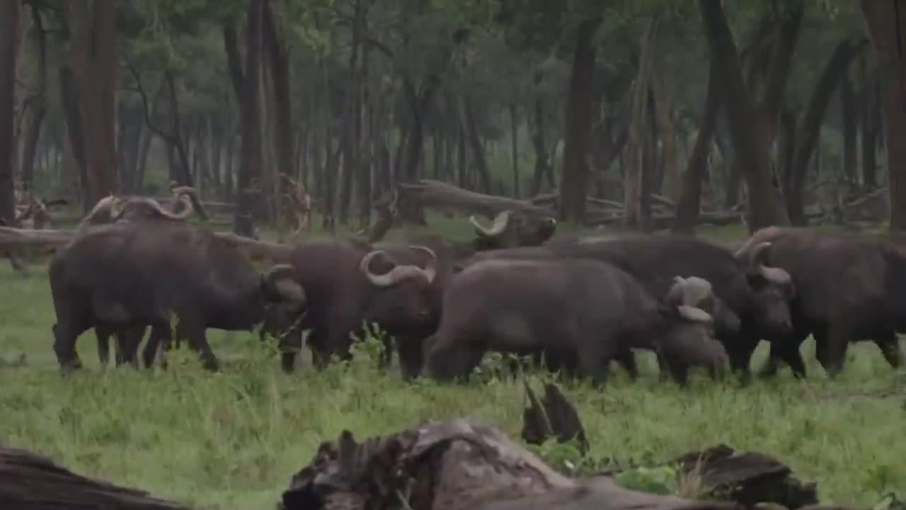 水牛被4只狮子放倒在地!同伴不离不弃冲击狮群,营救受伤同伴