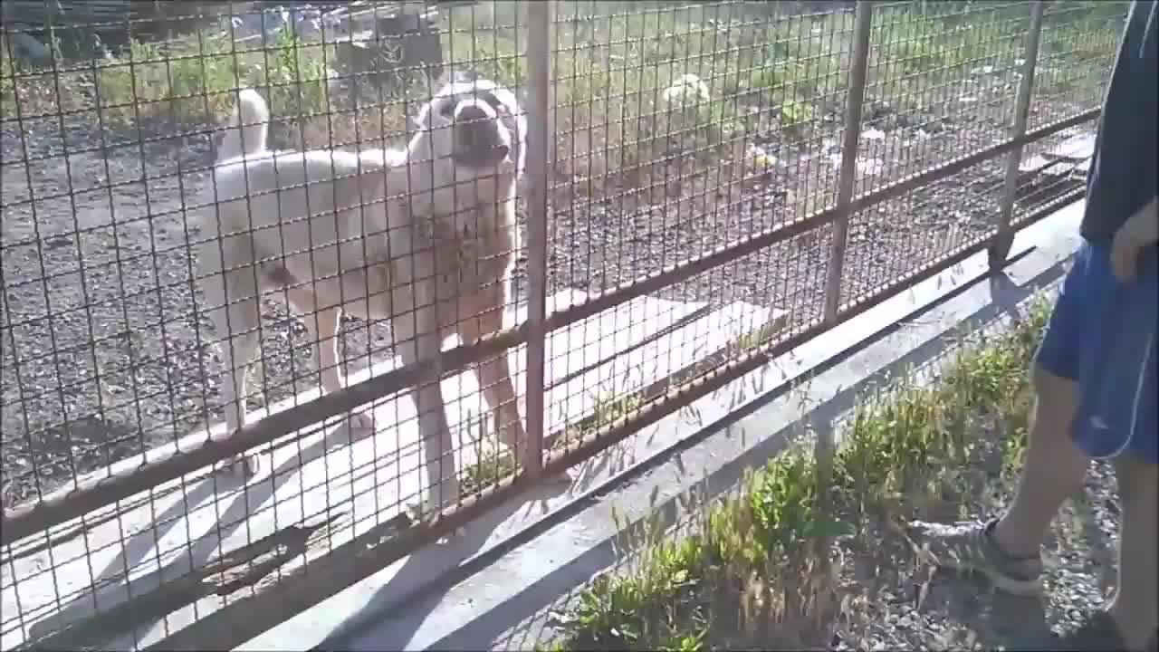 玩的就是心跳,大叔隔着铁丝网挑衅凶狠的阿拉拜咬狼犬