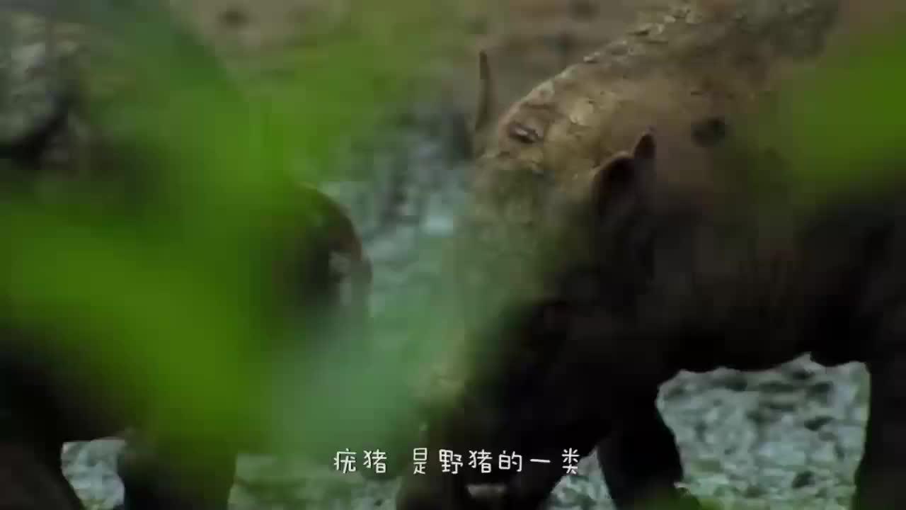 疣猪被老鹰抓住,下一秒老鹰的做法太搞笑了,疣猪-给个痛快吧