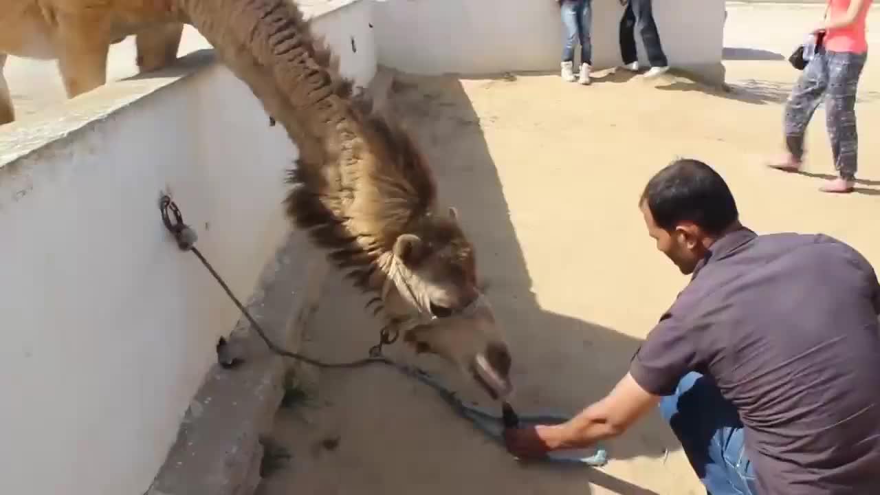 """骆驼一口咬下仙人掌,吃得正香,一个粉色""""肉球""""从嘴里蹦了出来"""