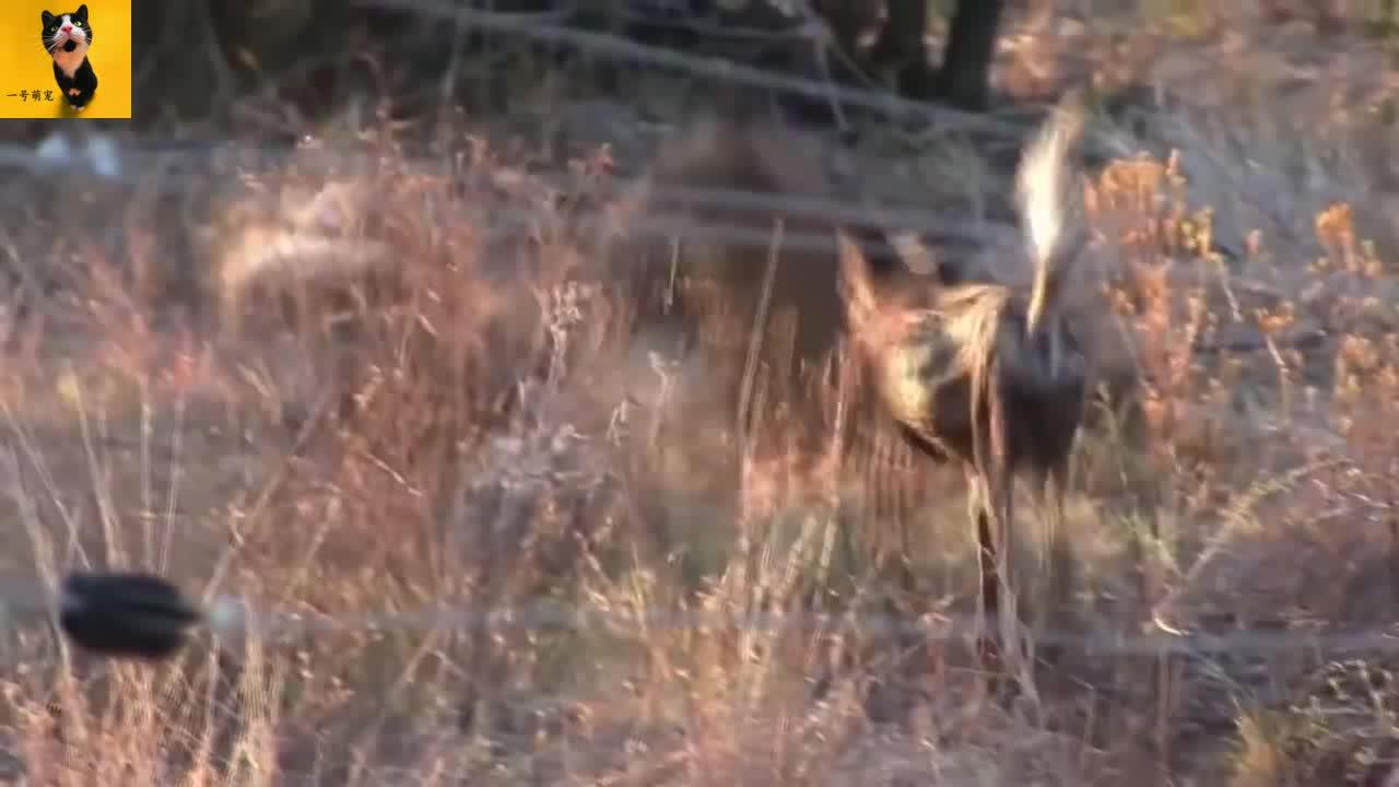 长毛鬣狗闯入野犬领地抢食物!被围攻依旧不屈不挠