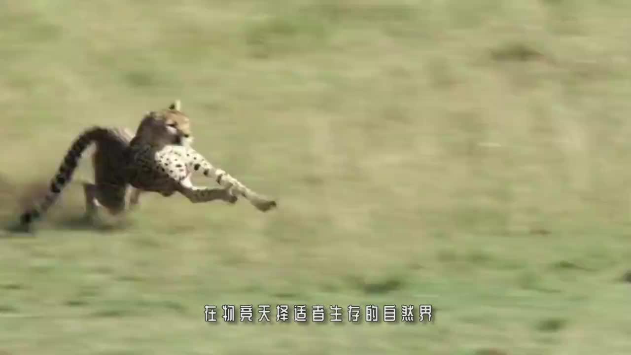 落单的小奶牛遭遇鬣狗,下一秒小奶牛惨了,镜头记录全过程