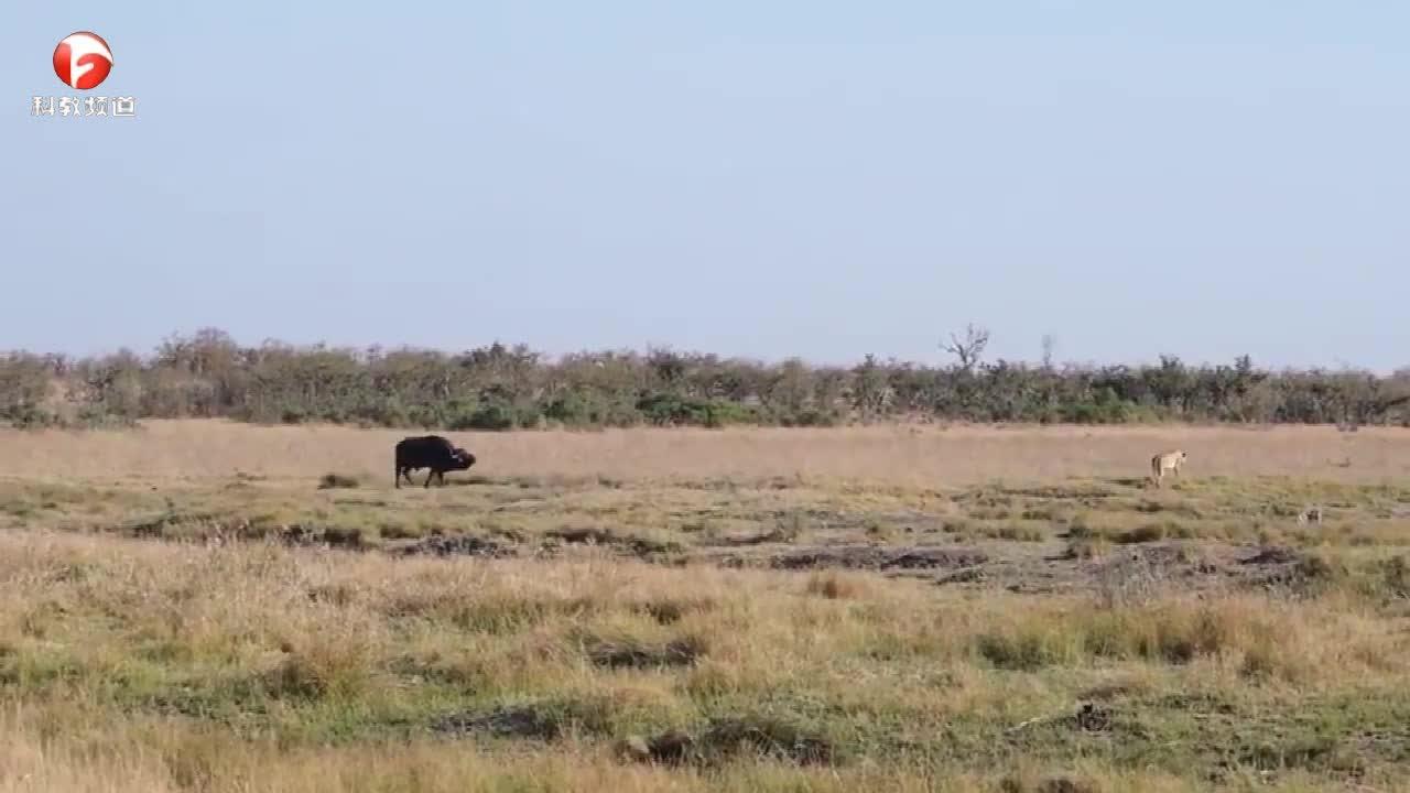 水牛与狮子群搏斗,水牛最终会如何呢