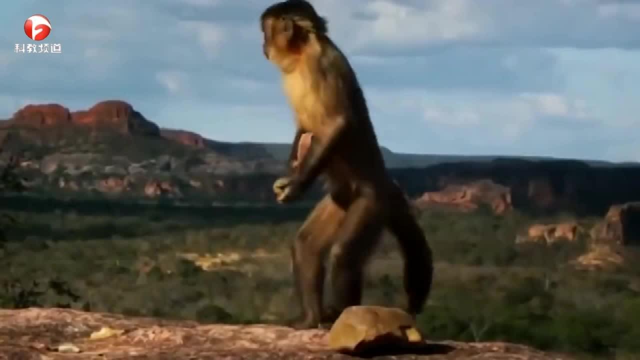 毒蛇抓获老鼠,卷尾猴却将老鼠救走