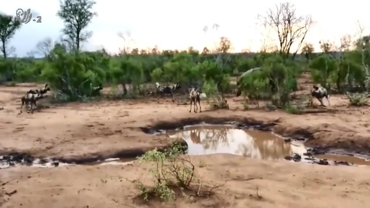 出来的喝水的河马,被鬣狗团团围住,河马毫不示弱,大战一触即发