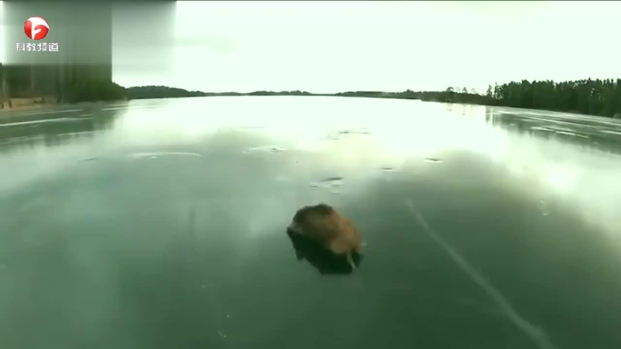 冰面拯救走失的小动物,小伙义无反顾的救助小动物