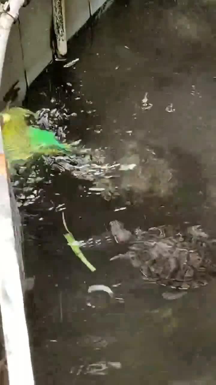 这只乌龟好有爱啊看到小鹦鹉落水了竟赶紧游过去救鸟