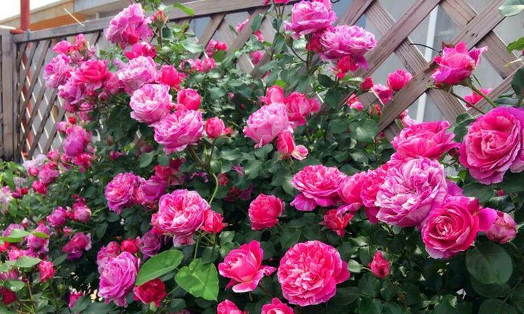 """精品月季""""依蕾·莎丝特"""",花比叶多,甚美,可以说是盆栽佳品"""