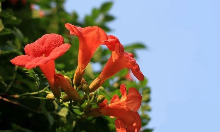 娇俏盛放鲜艳美丽的藤萝花,凌霄花这么养护,花开爬成一面花墙