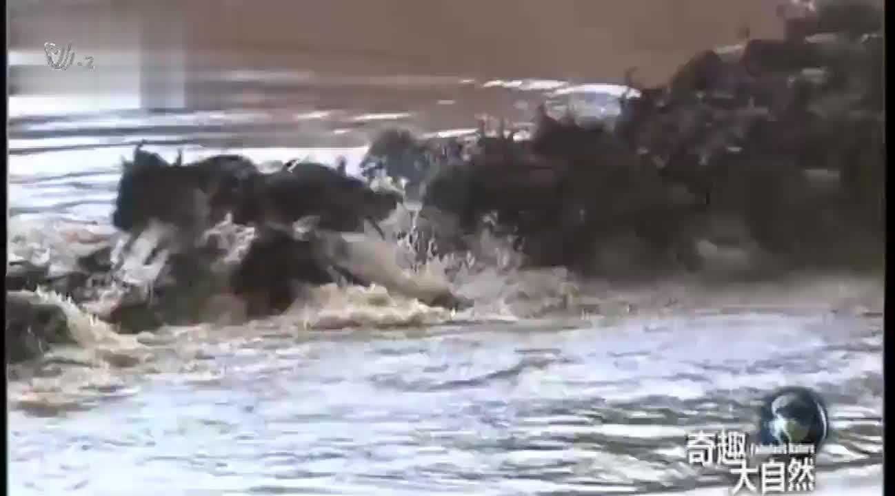 角马渡河,被鳄鱼袭击咬断了腿,最终在草原上奄奄一息