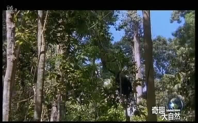 毛须猪无法上树摘取果实,只能蹲在树下,进食那些掉落的残骸
