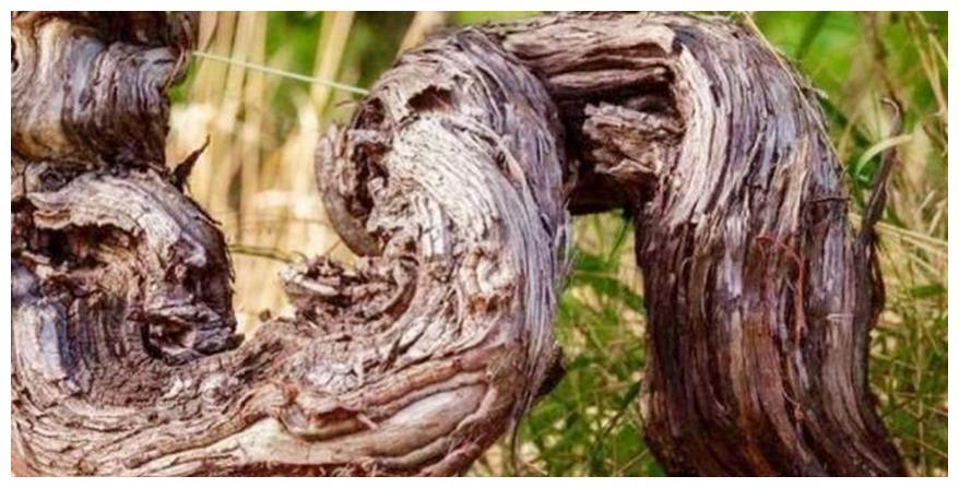 世界上最古老的葡萄树,树龄已经达到了176年,每年可产7吨葡萄!
