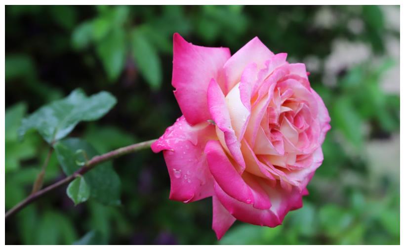 这4大生肖真爱降临,1月底,桃花朵朵开,猪年定能收获好爱情