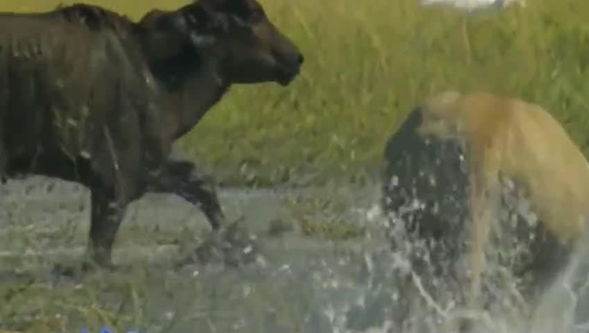 《人与自然》小牛奋起反击母狮停滞不前但是力量悬殊