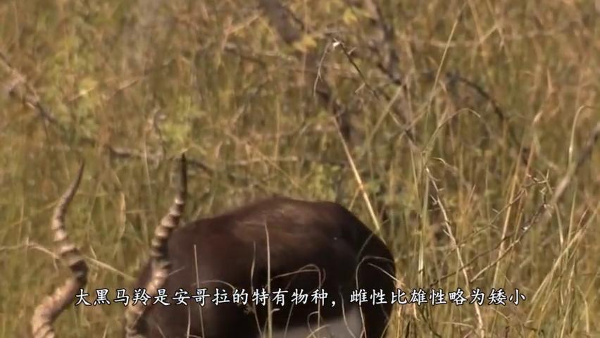 两头狮子捕猎马羚,为了不让马羚逃走,咬断了它的蹄筋