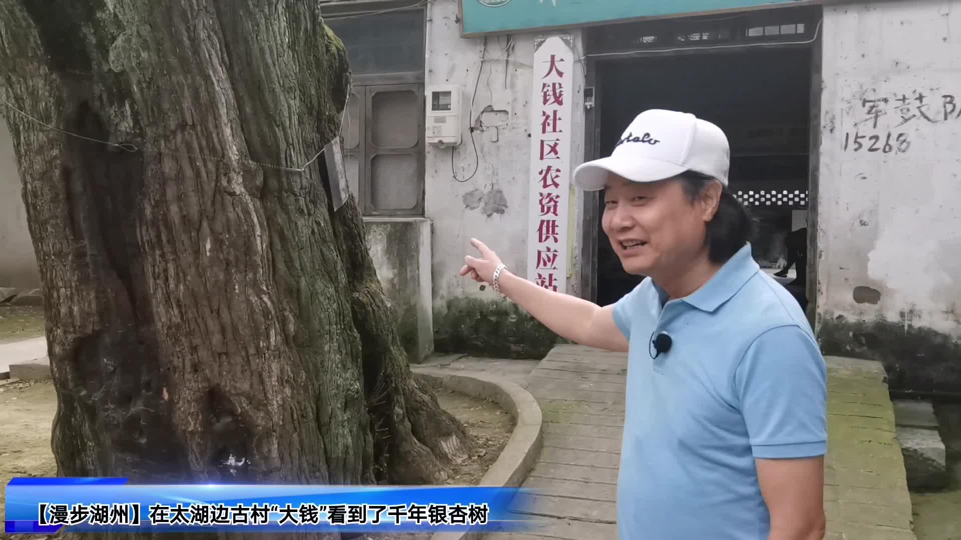 """【漫步湖州】在太湖边古村""""大钱""""寻访千年银杏村"""