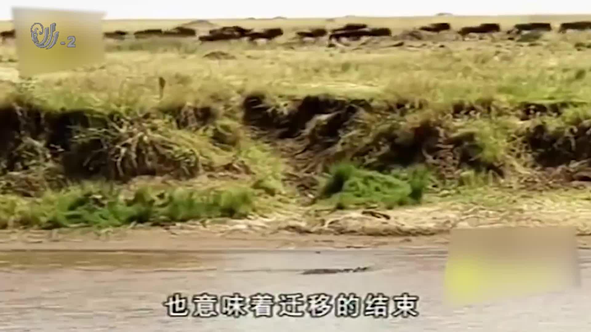 角马被鳄鱼抓住,在水中死命挣扎,但却被鳄鱼活吞了
