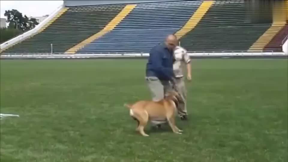 美国比特犬对战法国波尔多獒犬,看看谁比较厉
