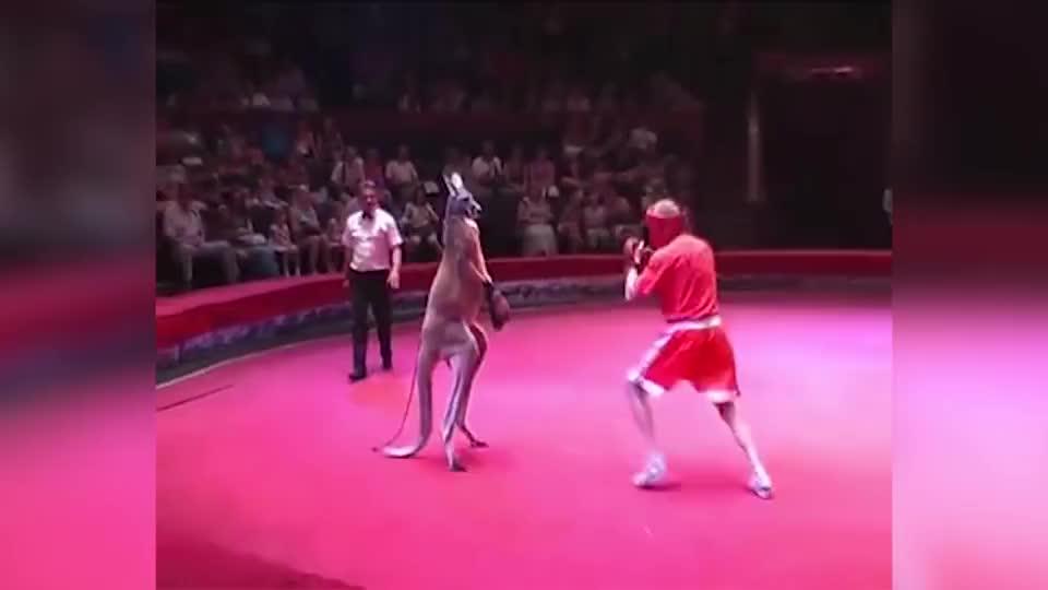 外国小伙和袋鼠打拳,裁判被踹到擂台外,网友:袋鼠实力这么强?