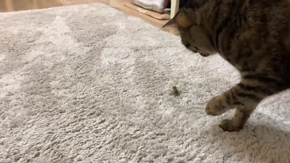 主人带回家一只青蛙,猫咪会是什么反应?太搞笑了哈哈
