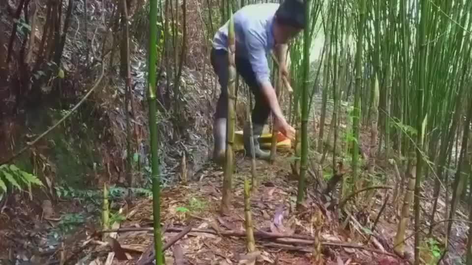 纯手工拔野笋,一个人一天拔几百斤都没问题