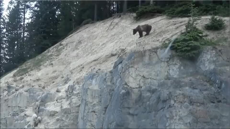 灰熊追杀山羊母子,山羊逃到悬崖边上,看着让人直冒冷汗