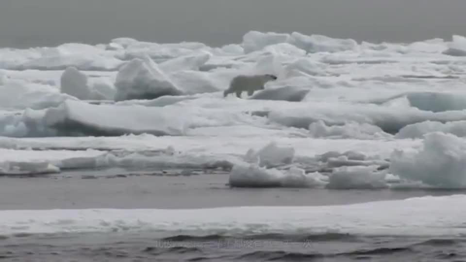 饥饿的北极熊抓不到海豹,选择去百米悬崖偷鸟蛋,真是不要命了