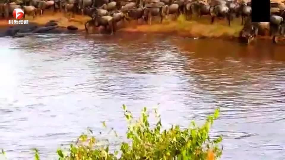 角马群大迁徙,结果遭到潜伏在水中的鳄鱼撕咬,真是太惨了!