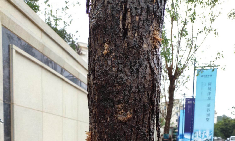 白蜡树养护中,重点防治这三种蛀干害虫!