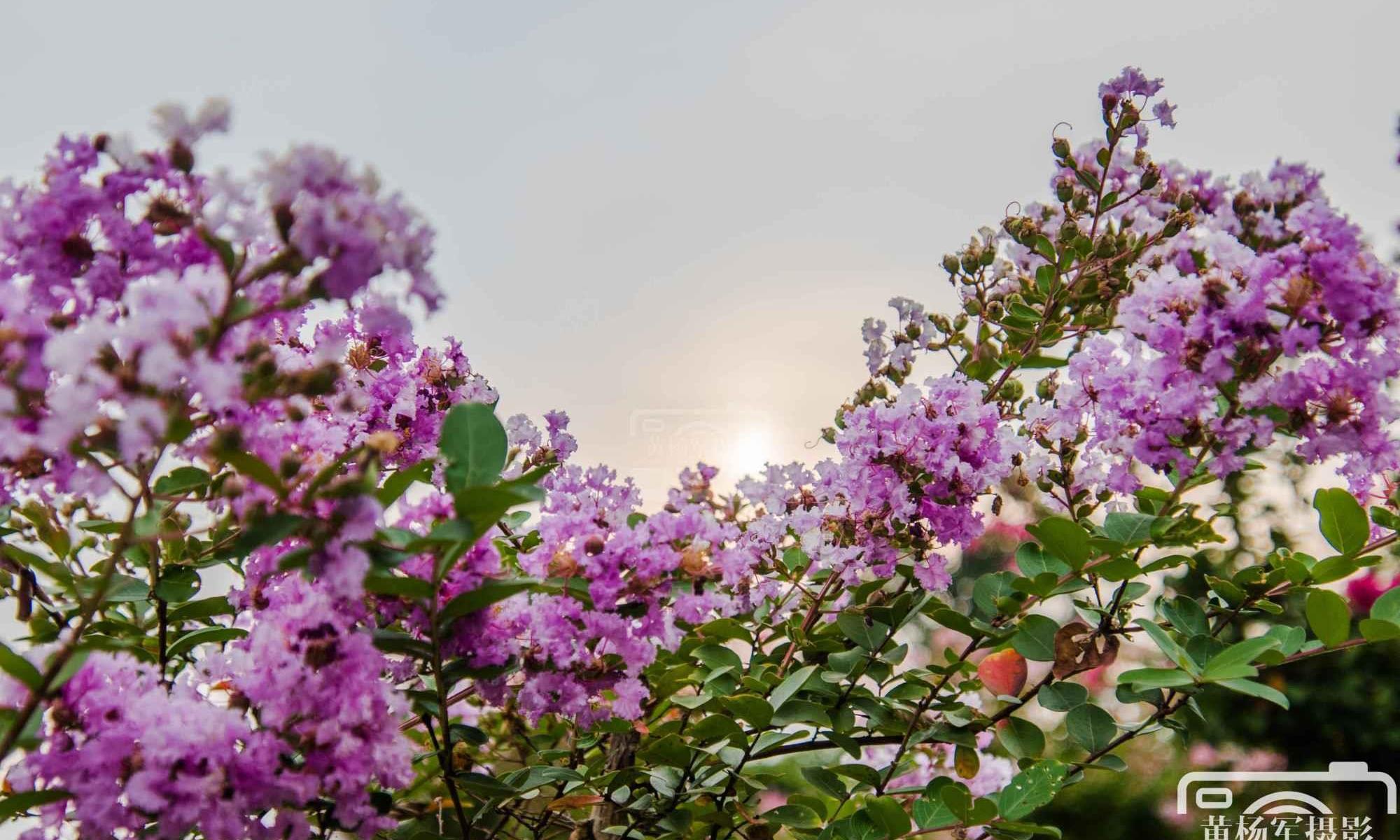 夕阳下美丽盛开的紫薇花,娇艳的花朵花团锦簇的模样非常漂亮