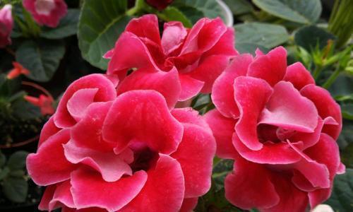 此款耐阴花,家里采光弱也能养,花期长达半年,一朵能开20天!