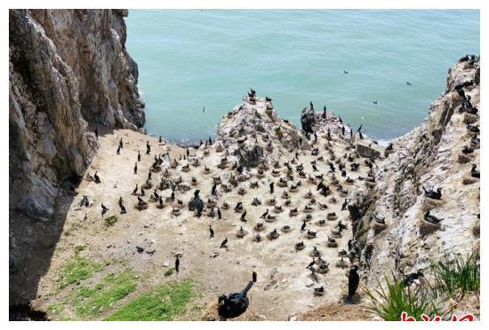 """青海湖鸟岛关停两年实现""""人去鸟来"""""""
