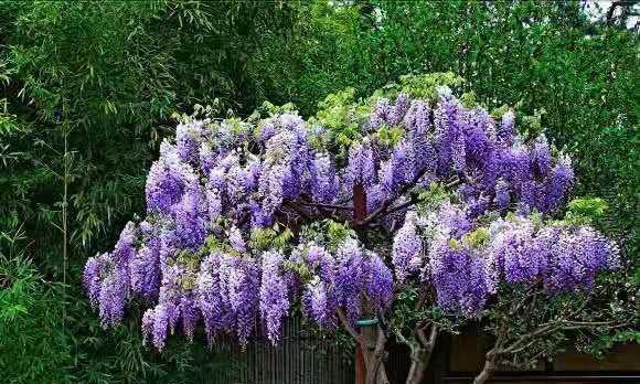 """家有小院子大阳台,养4种爬藤""""仙花"""",爬成一面墙,凉快又清香"""