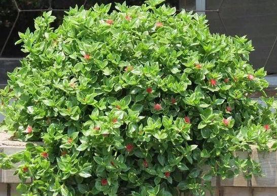 养牡丹吊兰(三七花),如何盆栽开花多、枝叶茂?先满足此4点
