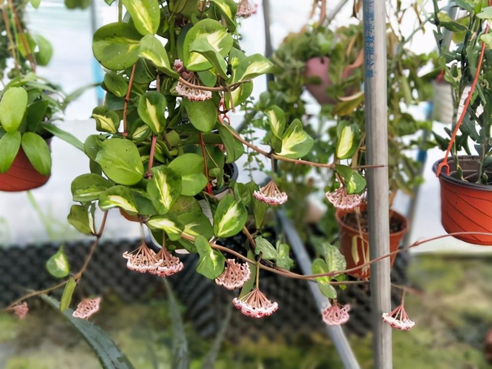 冬天屋内养花选这3种,一棵小苗养成小花园,攀爬着开花真美