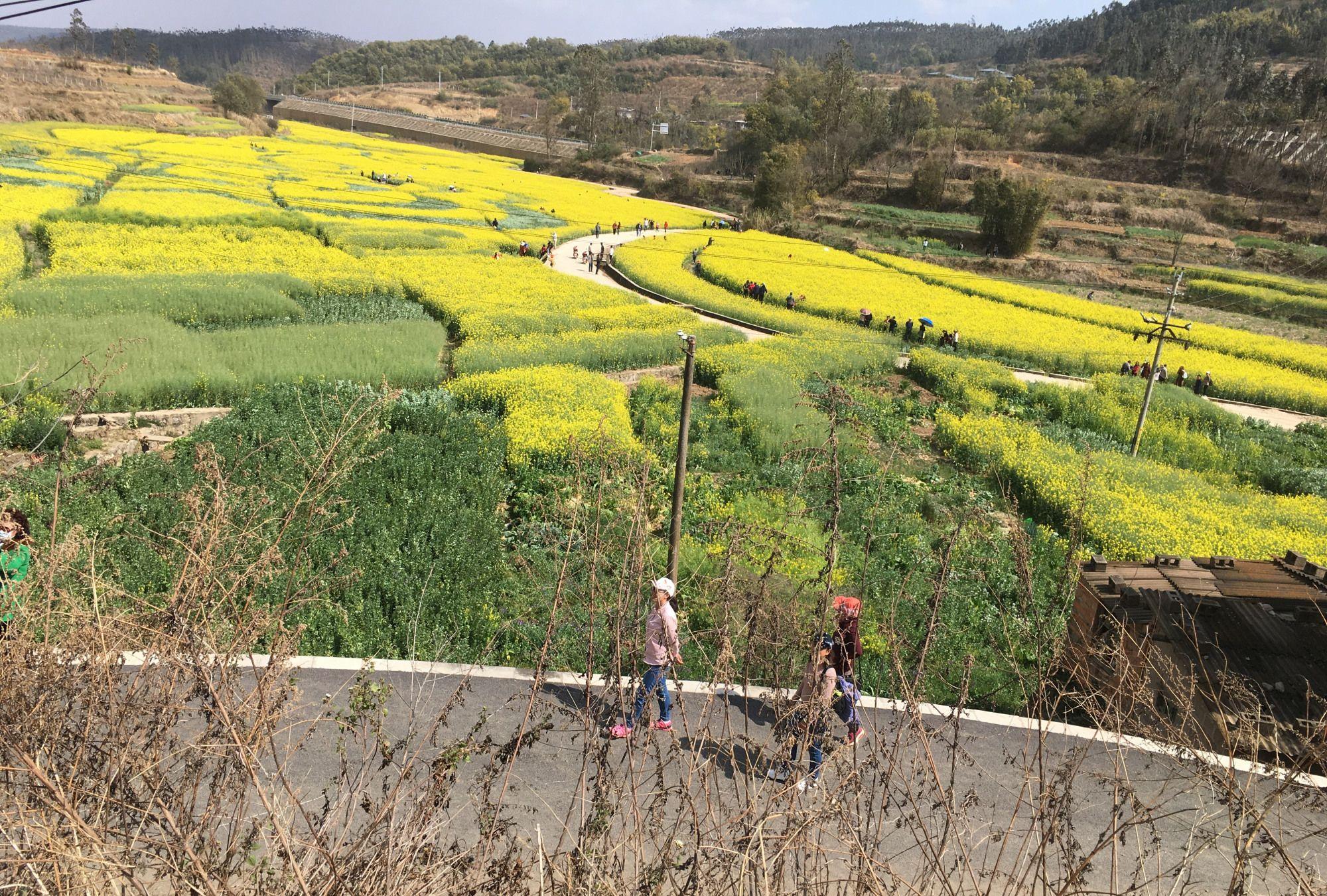 山茶花造型的油菜花,野山沟里迷人小村